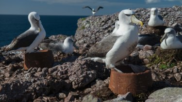 A shy albatross tests its new nest on Albatross Island.