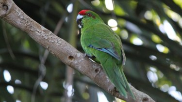"""Conservationists have raised enough money to start an """"insurance colony"""" of Norfolk Island green parrots."""