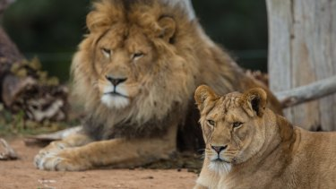 The International Union for the Conservation of Nature estimates that trophy-hunting tourists legally kill some 600 lions each year in Africa.