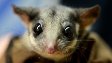 The mountain ash is home to the Leadbeater's possum, one of Australia's threatened small species.