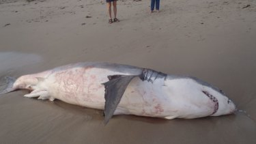 The shark was seen thrashing about before it was found dead.