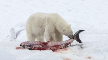 A polar bear eats a white-beaked dolphin in Svalbard in the Norwegian Arctic.