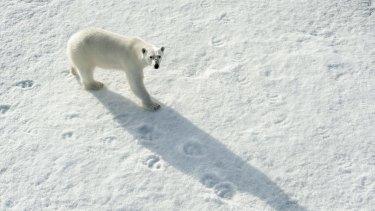 Polar bear, Ursus maritimus, on sea ice north of Spitsbergen, Svalbard, Arctic