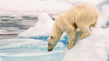 A polar bear in the Arctic.