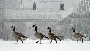 Geese walk along the snow covered waterfront park through heavy snowfall as the first winter storm of the season hits the area in Portland, Oregon.