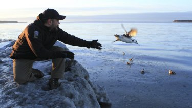 Guy Runco, director of the Bird Treatment and Learning Centre, releases a common murre near the Anchorage small boat harbour in Anchorage last week.
