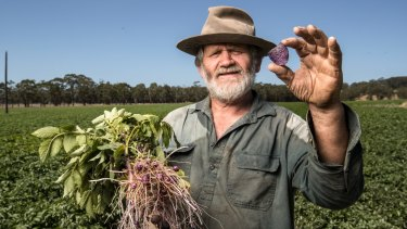 Farmer Peter Scott shows off one of his genuinely purple chips in front of the next crop of purple potatoes at Gerangamete, south of Colac.