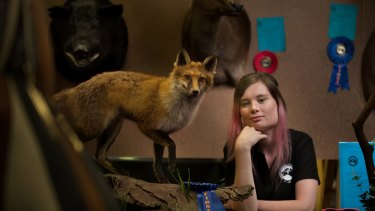 Brought to life: Brittany Porter won a first place in the small mammal novice section at the third annual Australian Association of Wildlife Artists taxidermy championships on Sunday with a fox she found as roadkill.