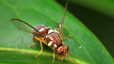 A Queensland fruit fly, like those discovered in Auckland.