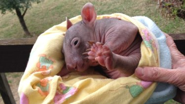 The baby wombat that survived when 10 others were run over.