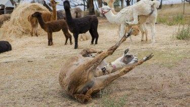Alpaca Magic's Autumn Open day.
