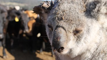 This koala was tossed and bitten by cattle while it was trying to cross the paddock a few years ago.