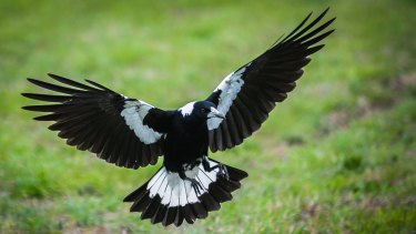 Male magpies try to protect their fledglings from perceived danger.