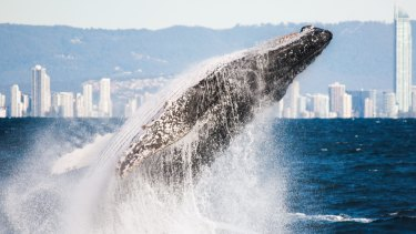 Hundreds of concerned citizens are helping with whale migration research on the Gold Coast.