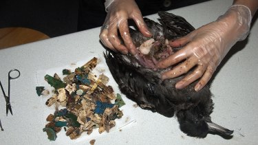 An autopsy of a dead flesh-footed shearwater on Lord Howe Island shows hundred of pieces of plastic in its stomach.
