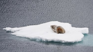 Bearded seal on sea cce in the Arctic.