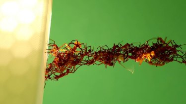 Twisting and turning, ants build another living bridge of bodies.