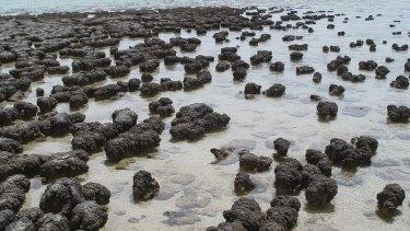 Modern-day stromatolites growing in Hamelin Pool Marine Nature Reserve, Shark Bay, in Western Australia.