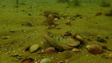 Sandy desert: Angasi or native flat oysters suffocate on the seabed without a hard surface to cling to.