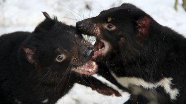 Tasmanian devils playfully biting each other.