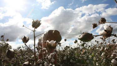 A cotton farm near Townsville: The drought is taking its toll on local producers.