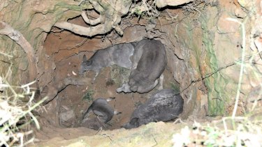 Four kangaroos had to be rescued after they were trapped down a mine shaft in Trentham.