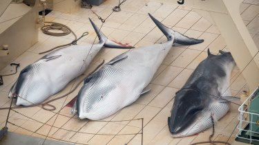 Minke whales on the deck of the Japanese factory ship Nisshin Maru in the 2013 season.