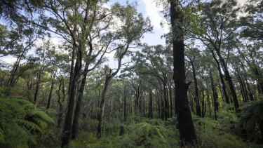 Forest near Toolangi.