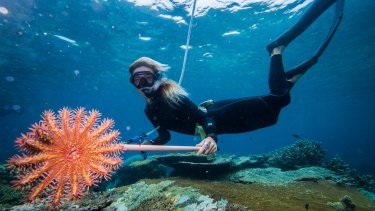 Marine scientist Taylor Simpkins holds up a crown of thorns starfish near the North Opal Reef off the coast of Port Douglas.