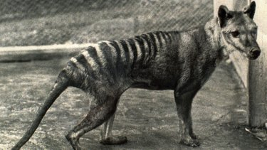 The last Tasmanian tiger in captivity, which died in 1936 aged about 12.