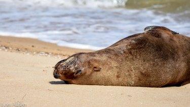 Arcto the seal having a nap at Dromana beach.