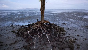 Rising sea levels erode roots and eventually kill trees