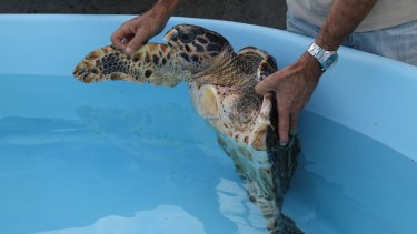 Ophelie, a hawksbill turtle, was found with fishing net wrapped around her left flipper, which was amputated.