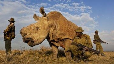 An anti-poaching team guards a Northern White Rhino in Kenya.