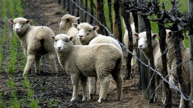 The research aims to develop better methods to detect chlamydia in sheep.