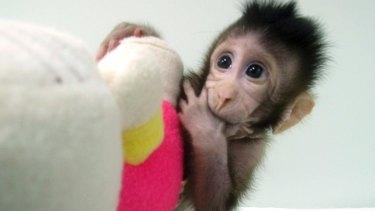 Growing normally: Cloned monkey Zhong Zhong.