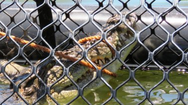 This crocodile was removed from a Port Douglas golf club after getting too cosy to golfers.