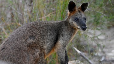'Sydney' the swamp wallaby heads back to the bush