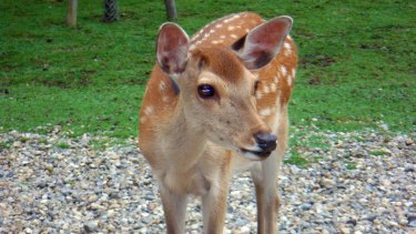 A Sika deer would be a nice friend.