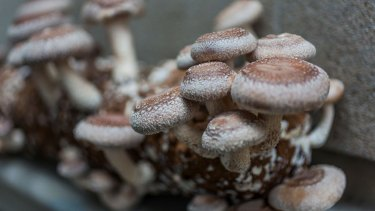 The conditions in the cellar are perfect for mushroom growing.