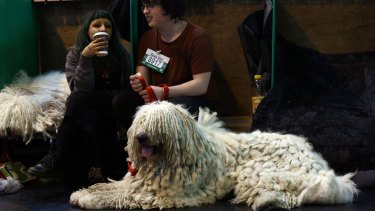 A komondor rests on the second day of Crufts dog show at the National Exhibition Centre in Birmingham.