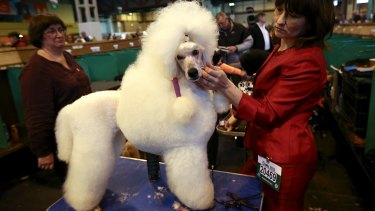 A standard poodle is groomed on the fourth and final day of Crufts dog show at the National Exhibition Centre on March 8, 2015 in Birmingham, England.