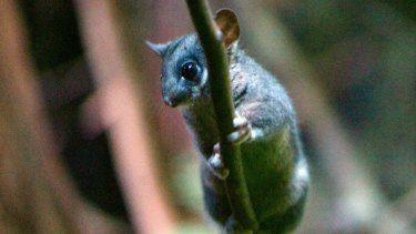 A Leadbeater's possum at Healesville sanctuary. New wild colonies of the species have been found in state and national parks.