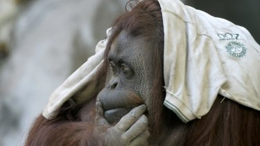 Fight for freedom: Sandra, a 29-year-old orangutan at Buenos Aires Zoo.