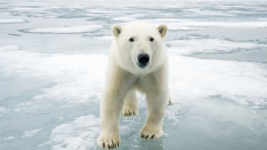 Polar bear (Ursus maritimus) on sea ice, off the coast of Svalbard, Norway.