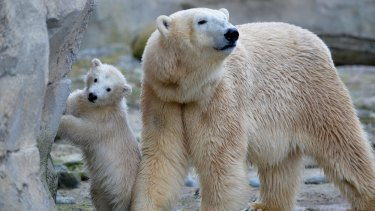 Polar bear cub Lili and mother Valeska at a zoo in Bremerhaven, northern Germany this month.