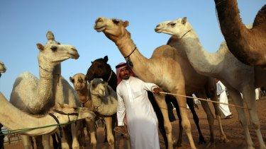 Camel beauty pageants, in which camels are judged on their looks and dressage, are held all over Saudi Arabia.