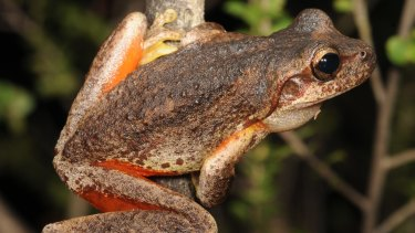 A brown tree frog.
