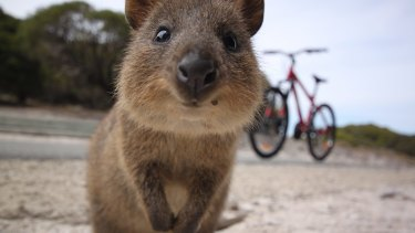 """Rottnest Island will build a quokka-proof fence around its golf course to try stem an """"explosion"""" of the marsupial in the area."""
