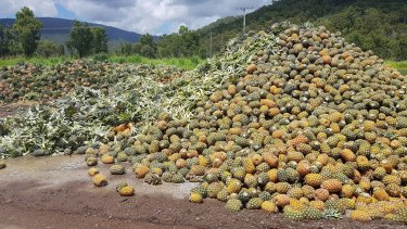 A photo posted by NQ Paradise Pines showing tonnes of pineapples going to waste in Rollingstone due to an oversupply and the temporary closure of the Golden Circle cannery.